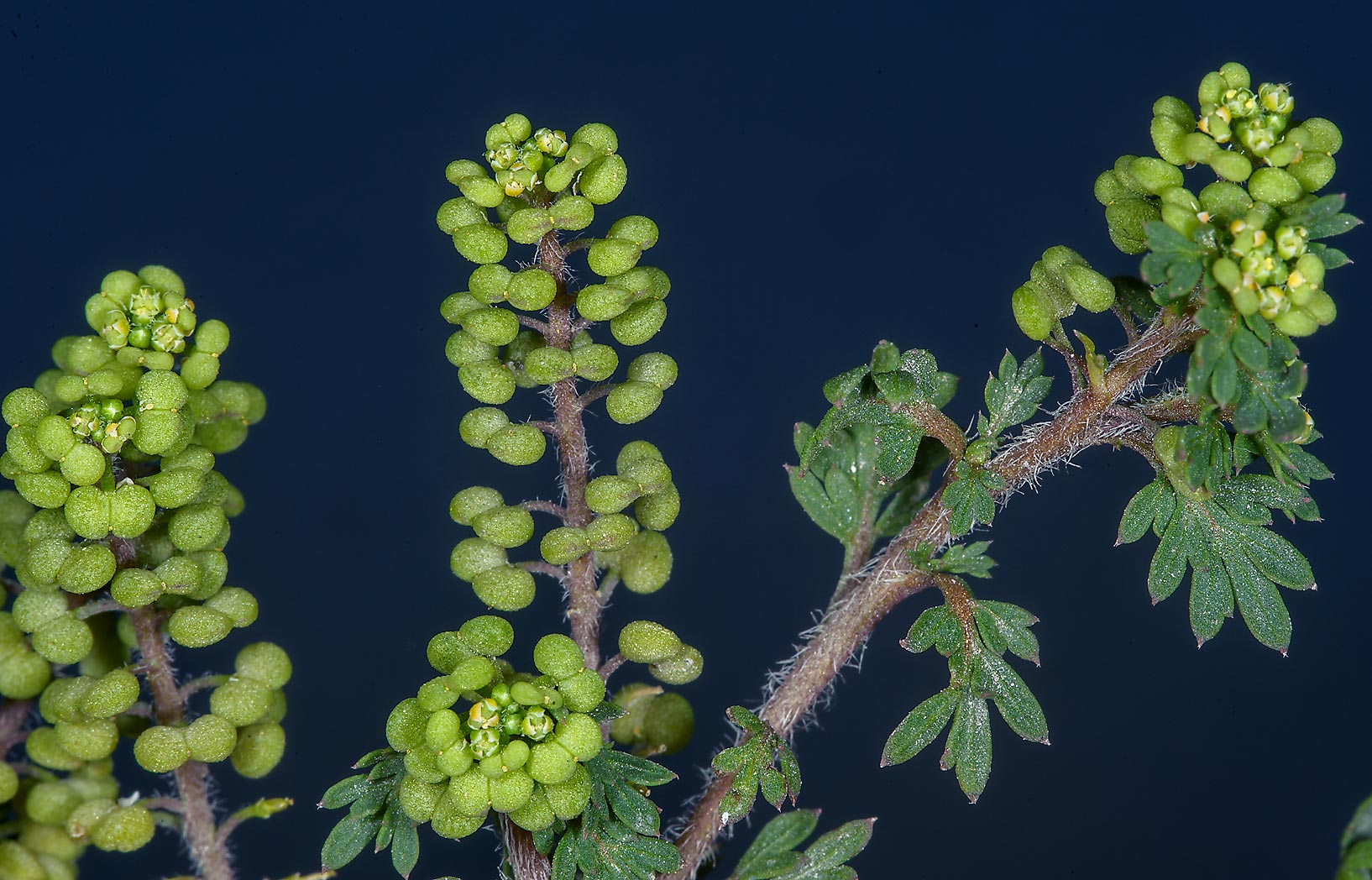 Fruits of Swine cress (Lepidium didymum) near Al Bidda Park. Doha, Qatar