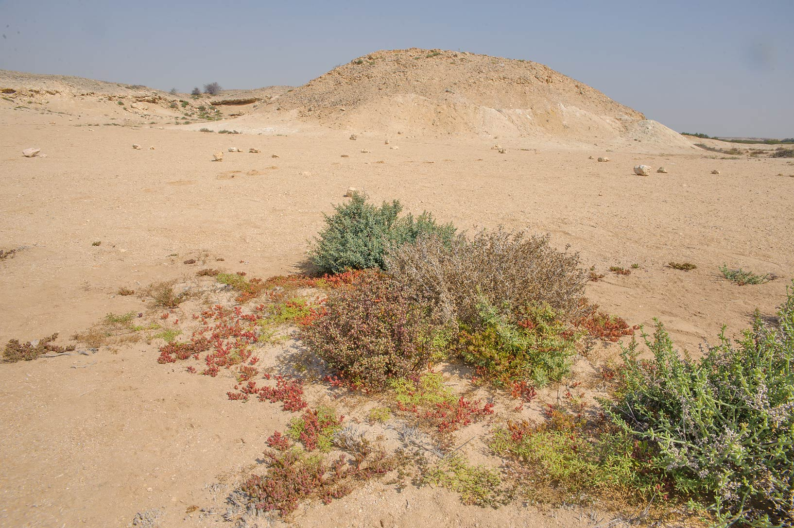 Salt tolerant plants on Purple Island (Jazirat Bin Ghanim). Al Khor, Qatar