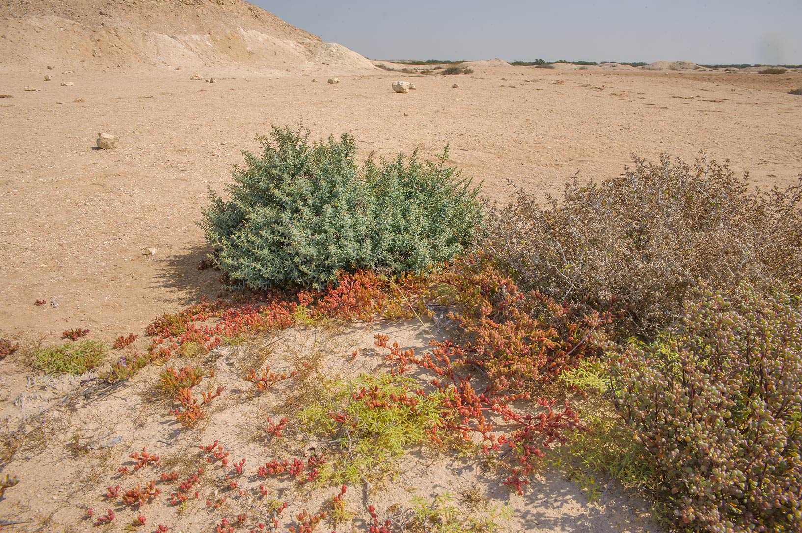 Multicolored salt tolerant plants on Purple Island (Jazirat Bin Ghanim). Al Khor, Qatar