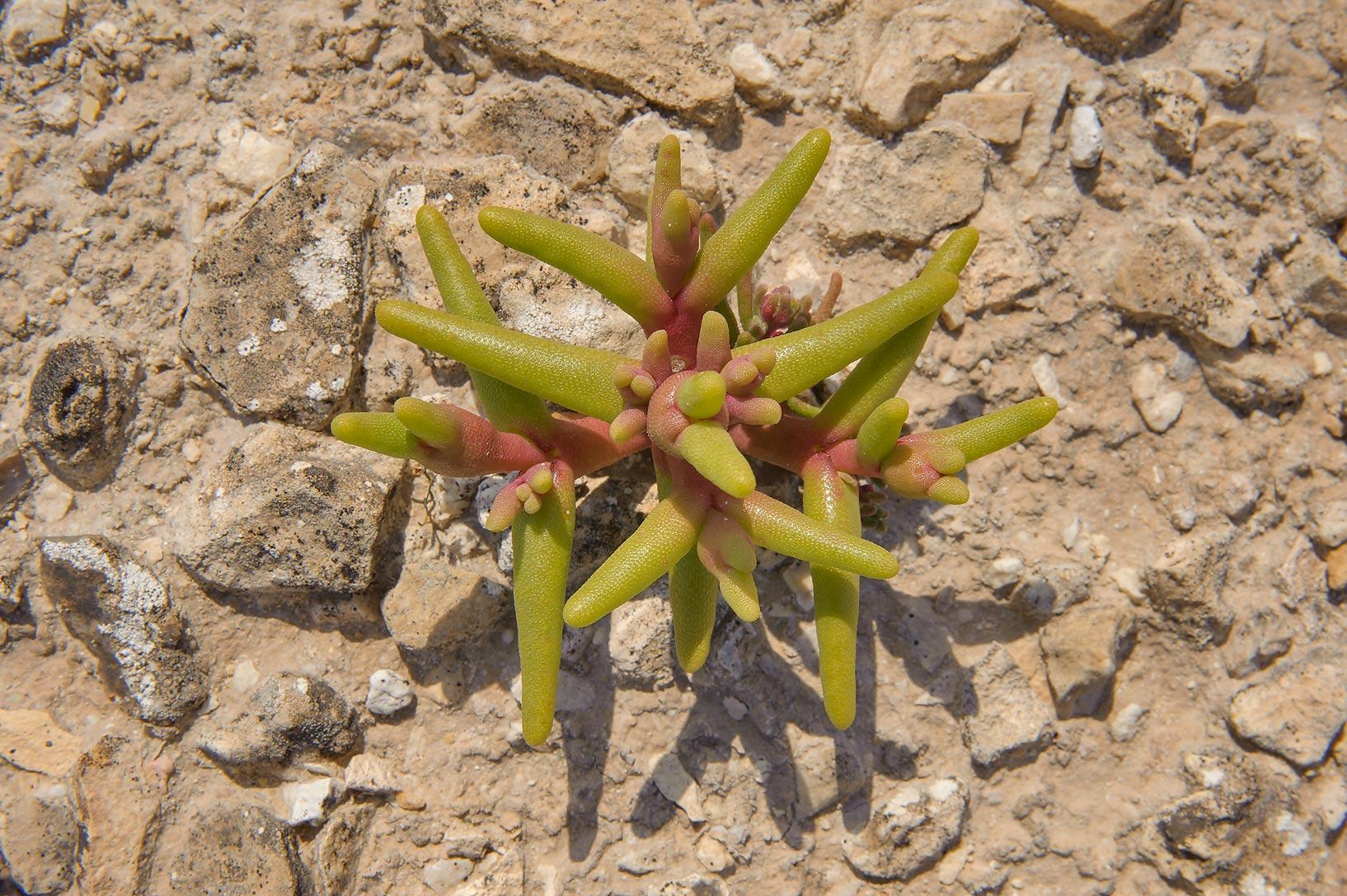 photo 137304 mesembryanthemum cryptanthum and nodiflorum