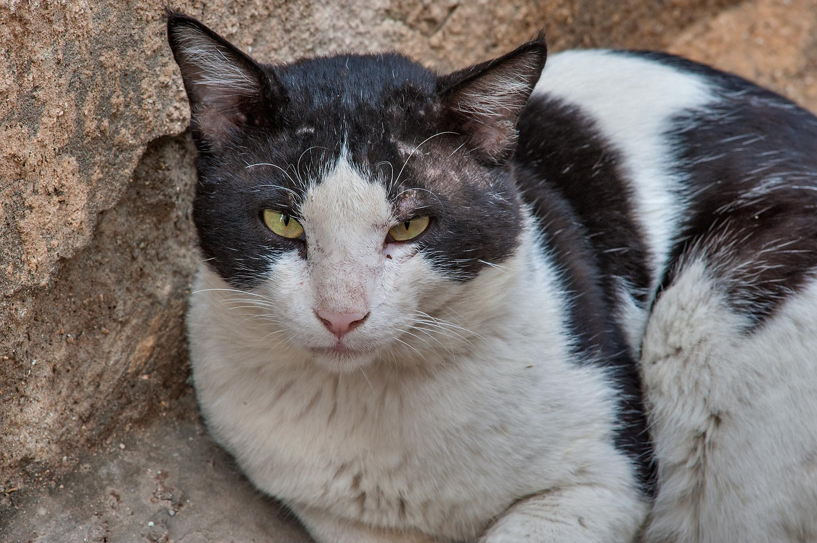 Close up of a black and white cat near Abdullah...St. in Musheirib area. Doha, Qatar