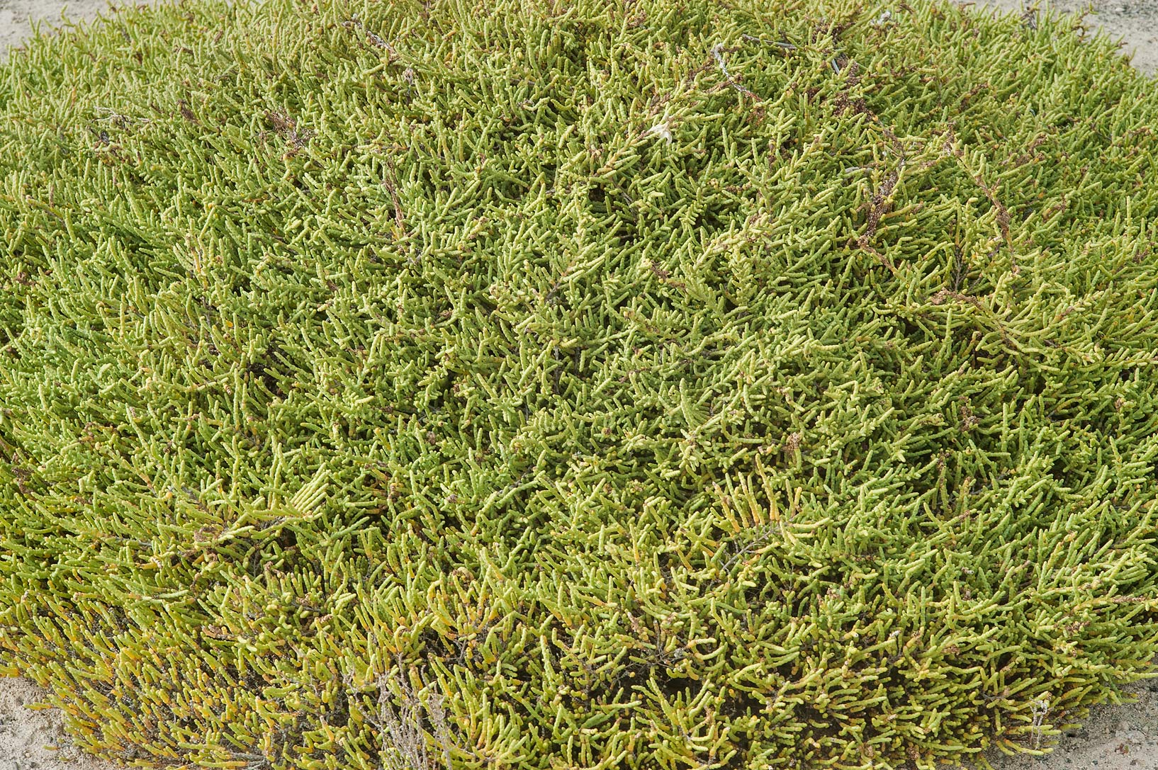 Glasswort (Arthrocnemum macrostachyum) on Umm Tays Island in Madinat Al Shamal area. Qatar