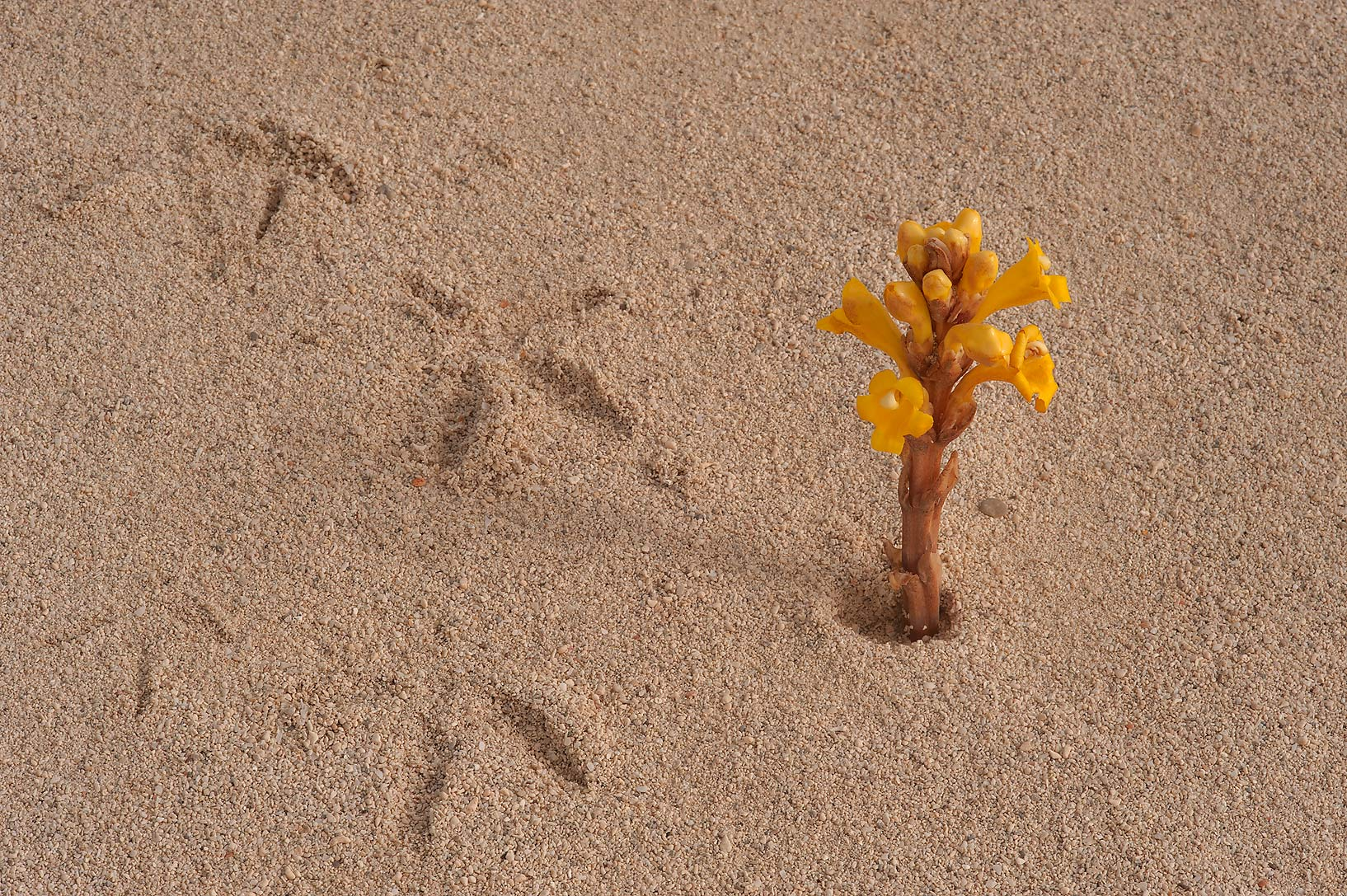 Bird tracks and a flower of Cistanche tubulosa on...in Madinat Al Shamal area. Qatar