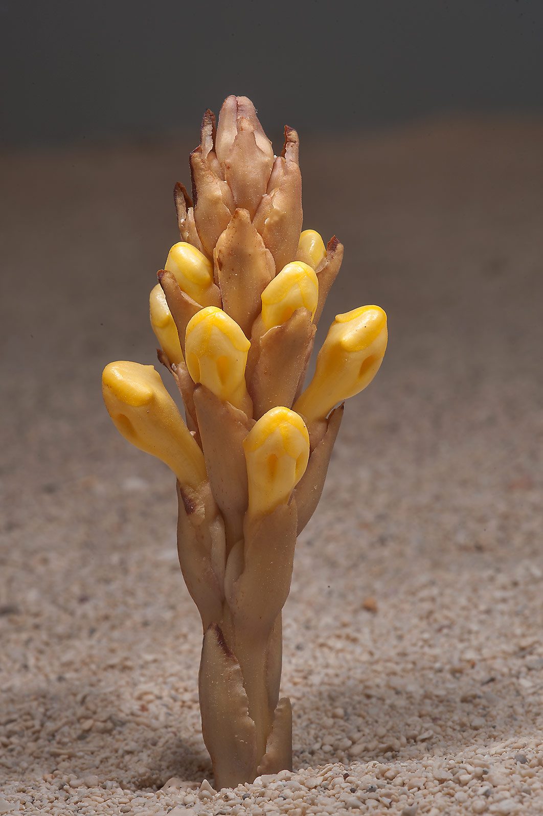 Flower of Cistanche tubulosa on a beach of Umm...in Madinat Al Shamal area. Qatar