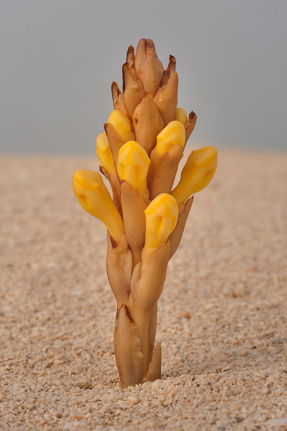 Flower of Cistanche tubulosa on sand of Umm Tays Island in Madinat Al Shamal area. Qatar