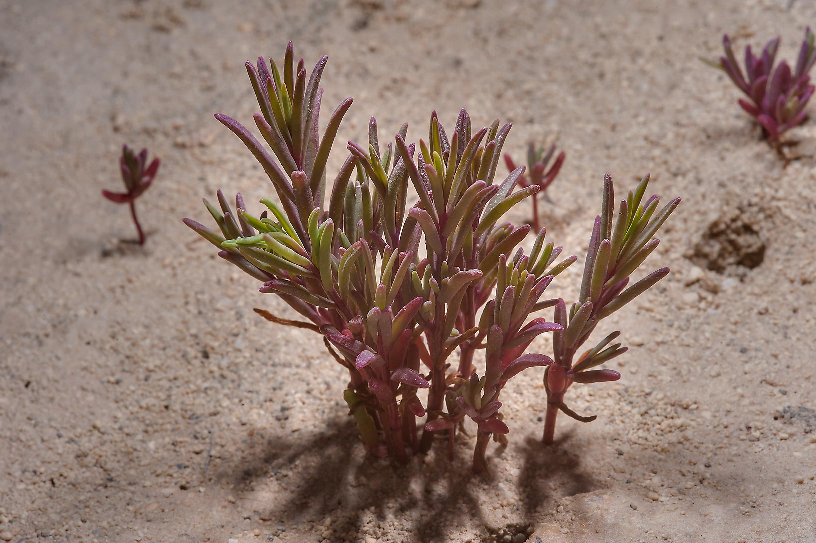 Purple tinged plants of Salsola soda (Suaeda...in Madinat Al Shamal area. Qatar