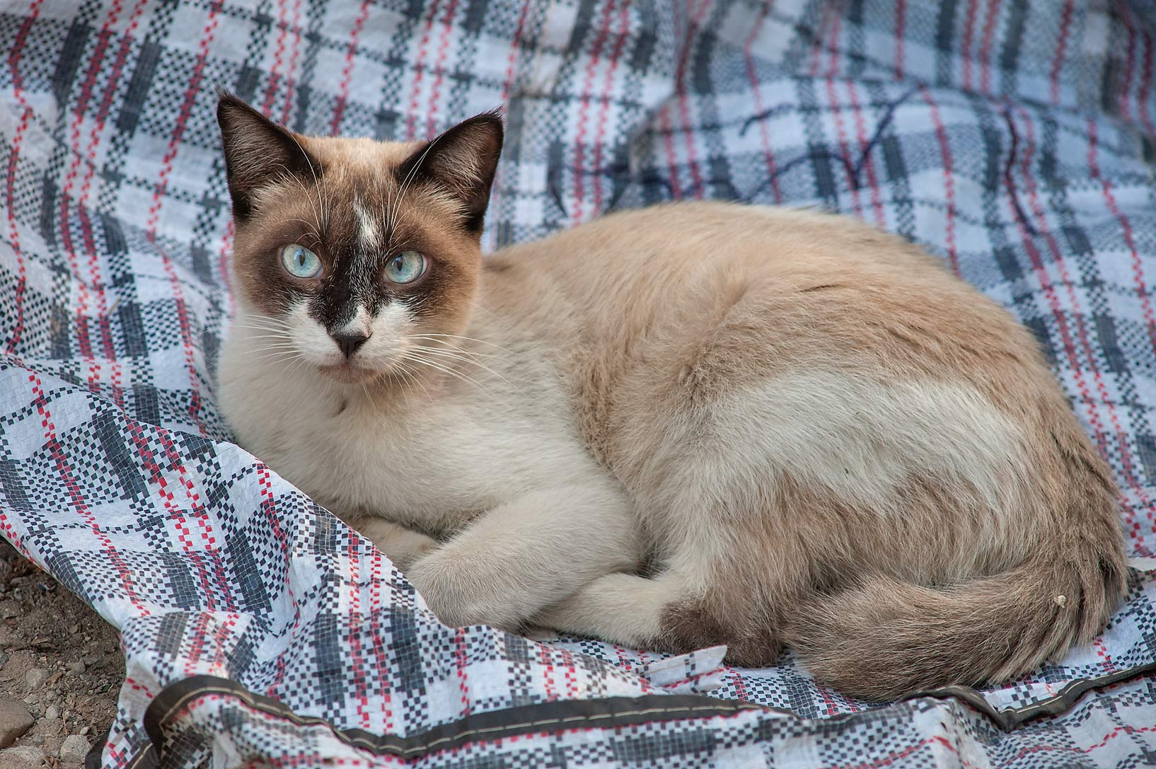 Snowshoe breed of Siamese cat with blue eyes on...Al Doha Al Jadeeda area. Doha, Qatar