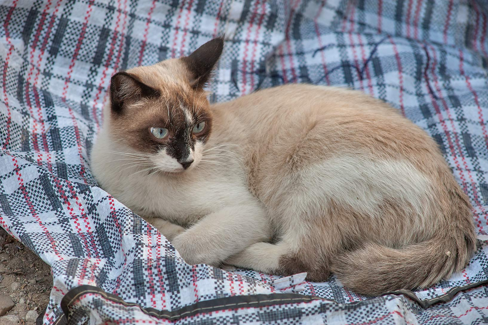Lying Siamese cat with blue eyes on Zurara Bin...Al Doha Al Jadeeda area. Doha, Qatar