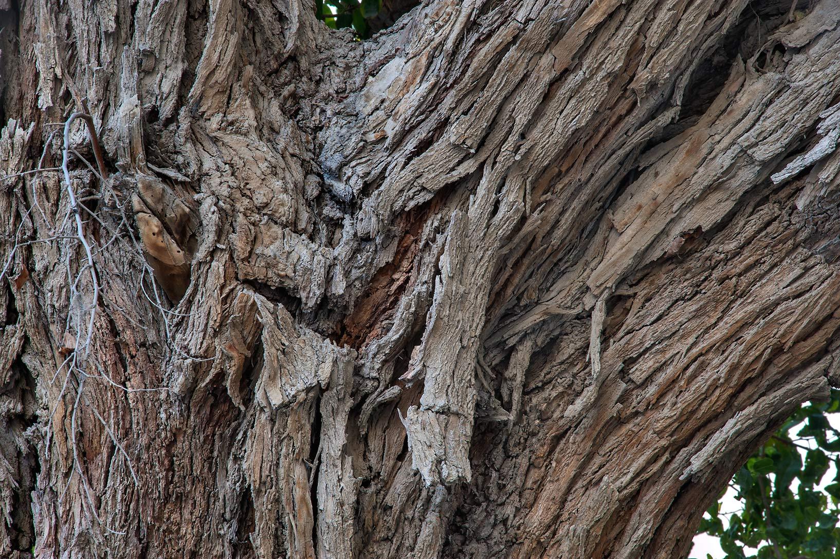 Photo 1379 15 Bark Of Old Sidra Tree Ziziphus On Al