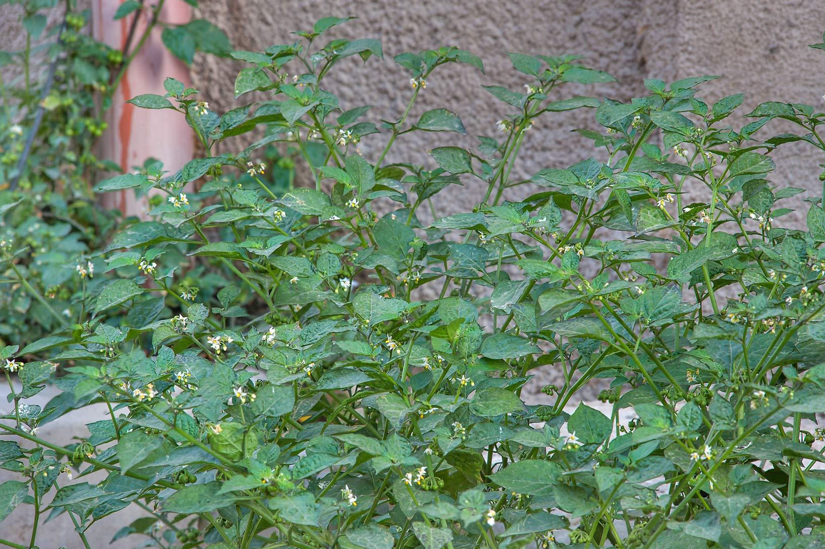 Solanum Nigrum Solanum Nigrum Near al