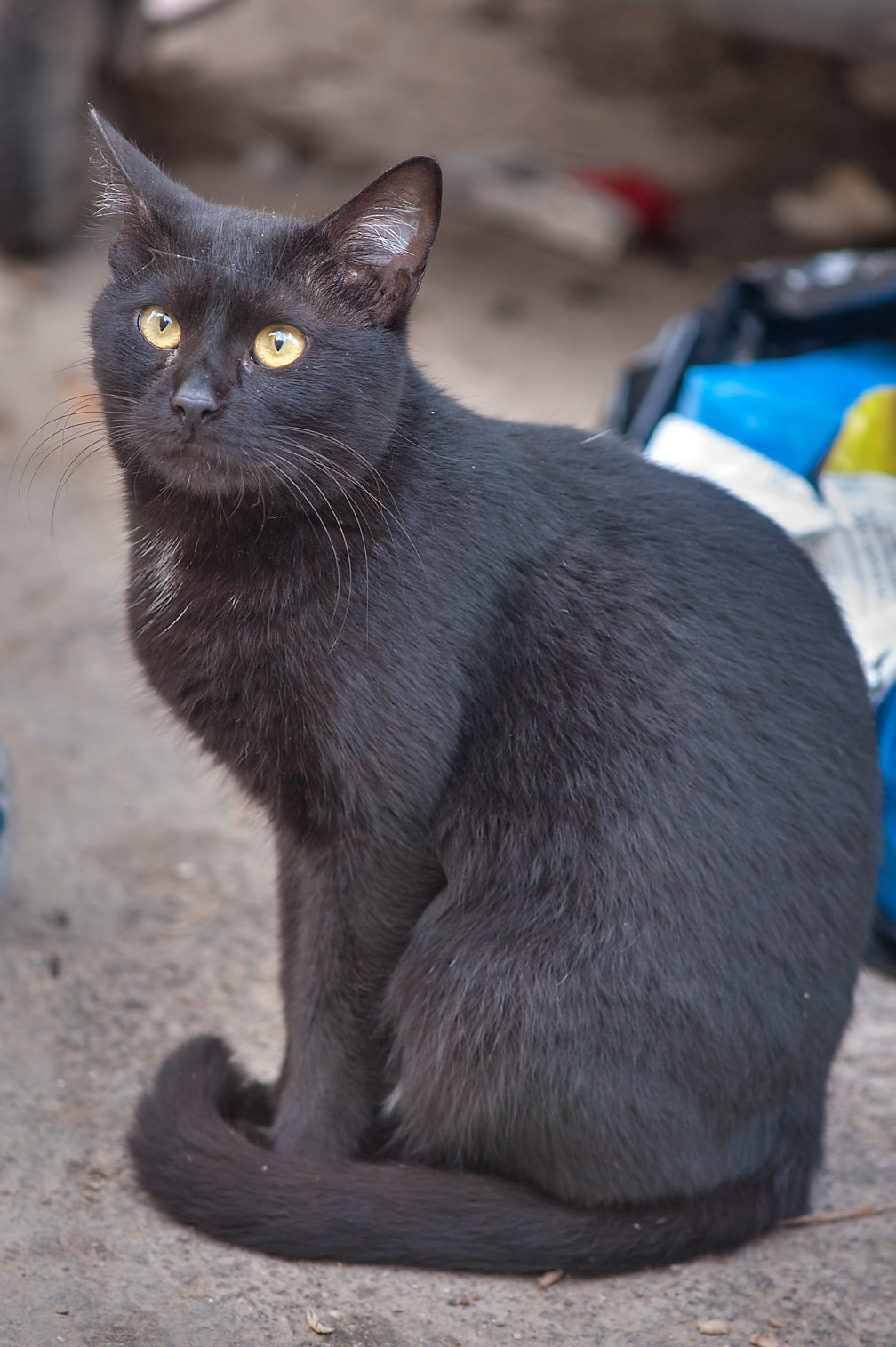 Black cat near Umm Wishad St. in Musheirib area. Doha, Qatar
