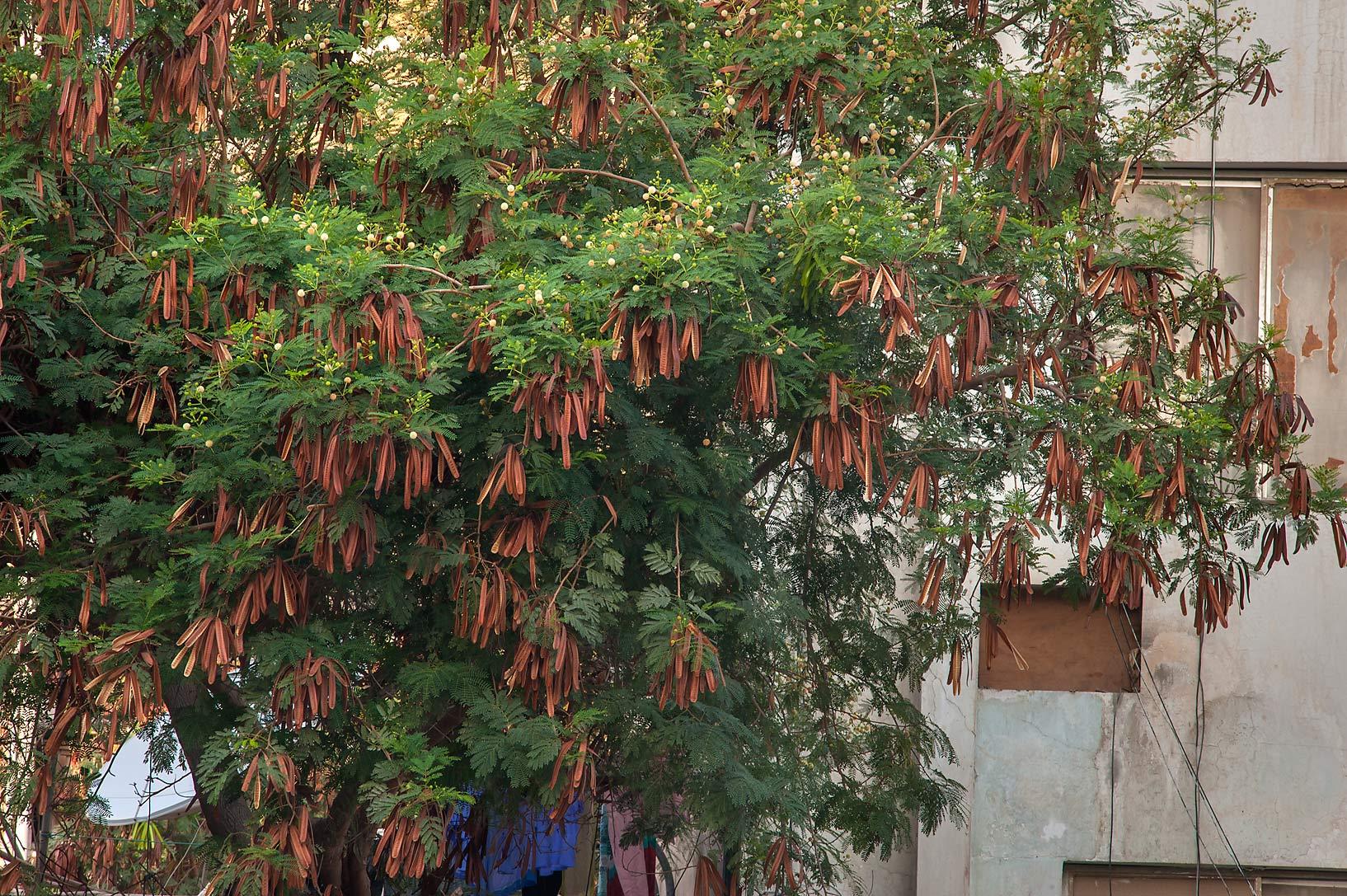 photo 155713 leadtree jumbay leucaena leucocephala