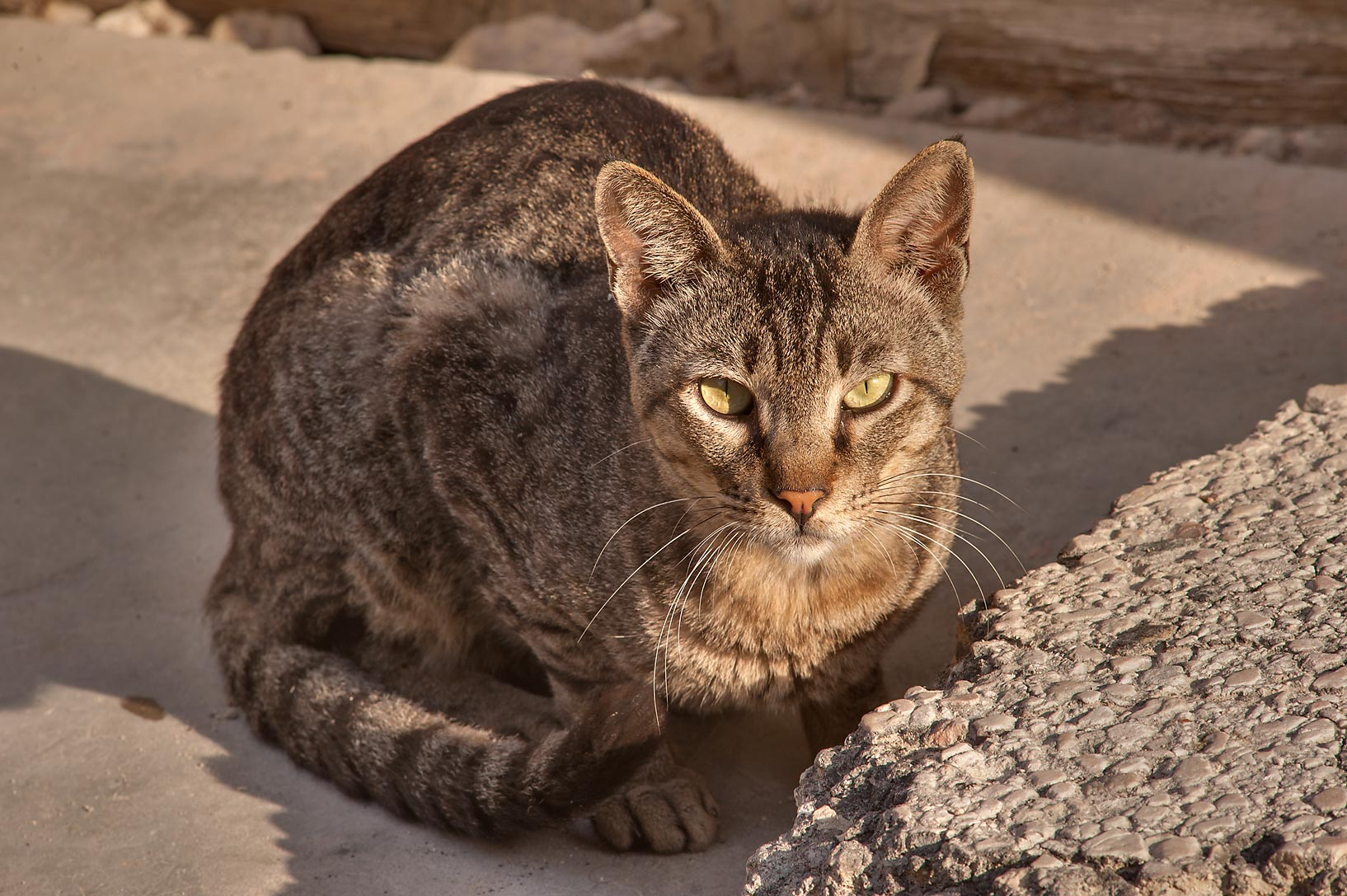 Tabby cat on Al Jassasiya St. in Musheirib area. Doha, Qatar