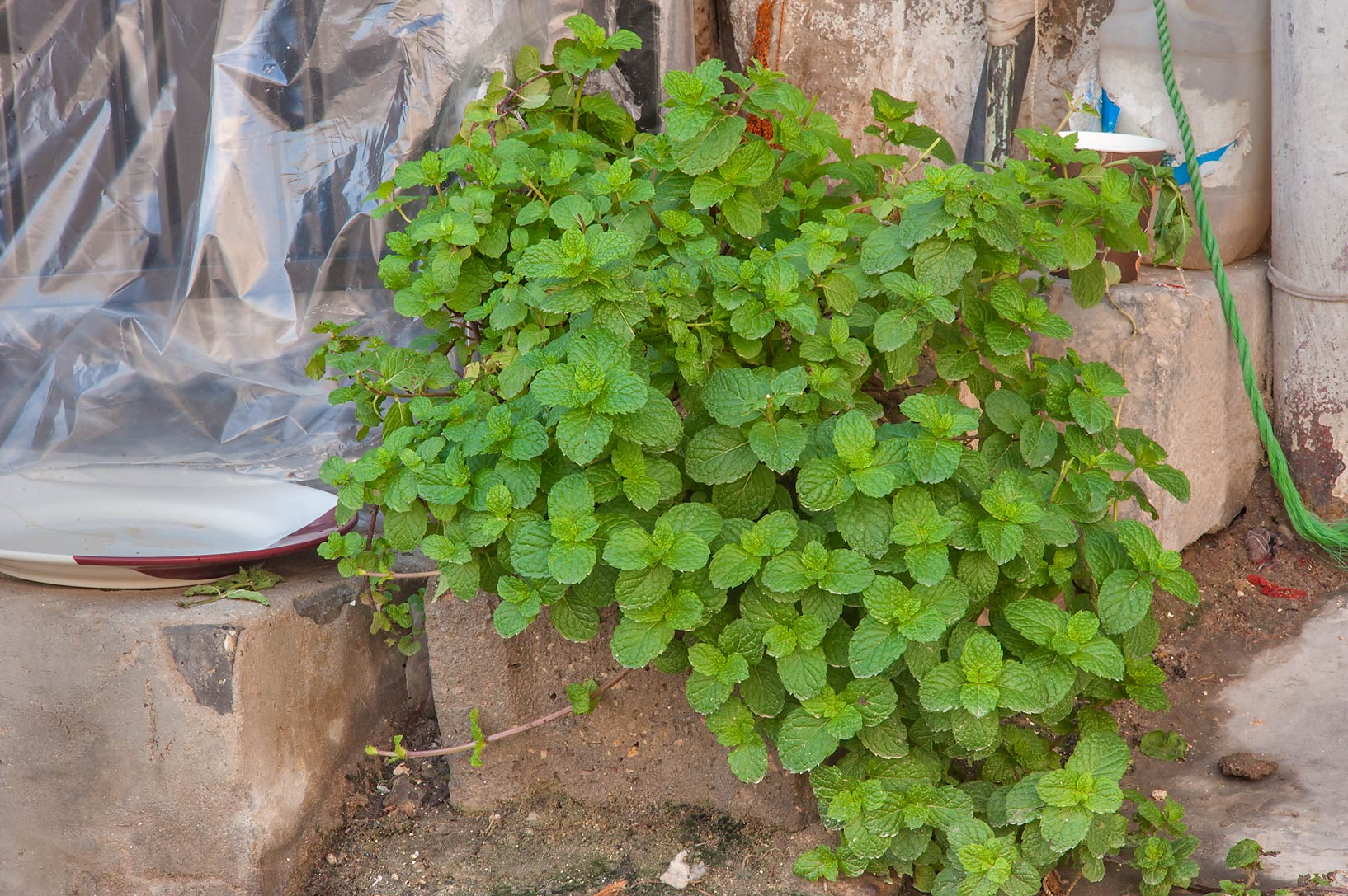 Bush of peppermint (Mentha piperita ) near Al Asmakh St. in Najada area. Doha, Qatar
