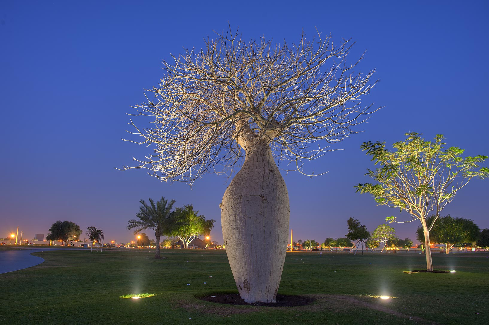 Illuminated Silk floss tree (Chorisia speciosa...speciosa) in Aspire Park. Doha, Qatar