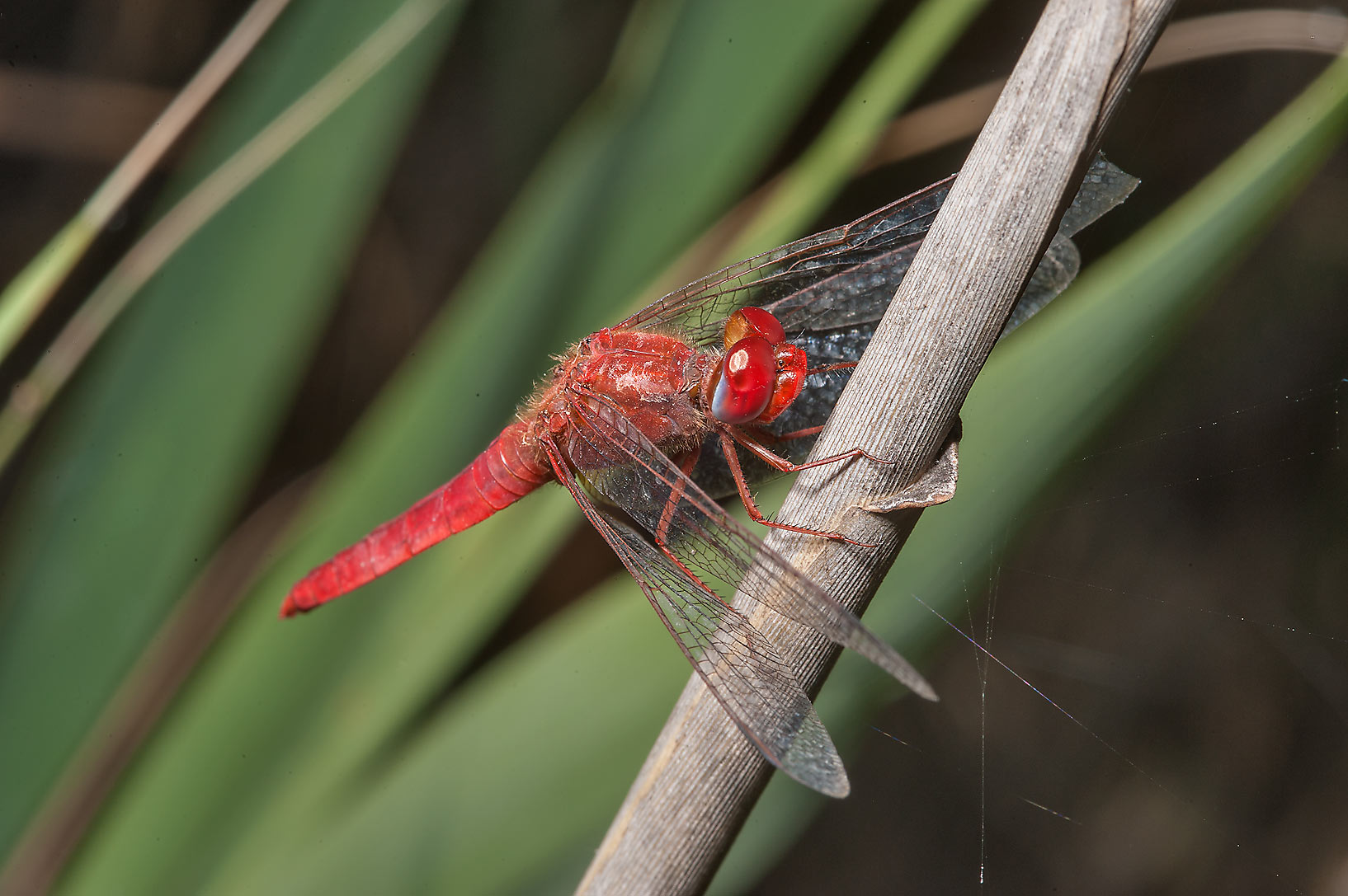 Broad scarlet dragonfly (Crocothemis erythraea...treatment ponds. Doha, Qatar