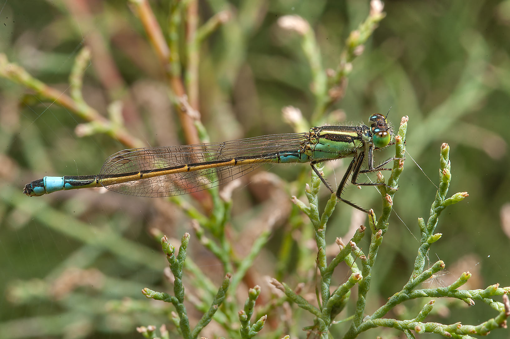 Evans bluetail damselfly (Ischnura evansii) near...treatment ponds. Doha, Qatar