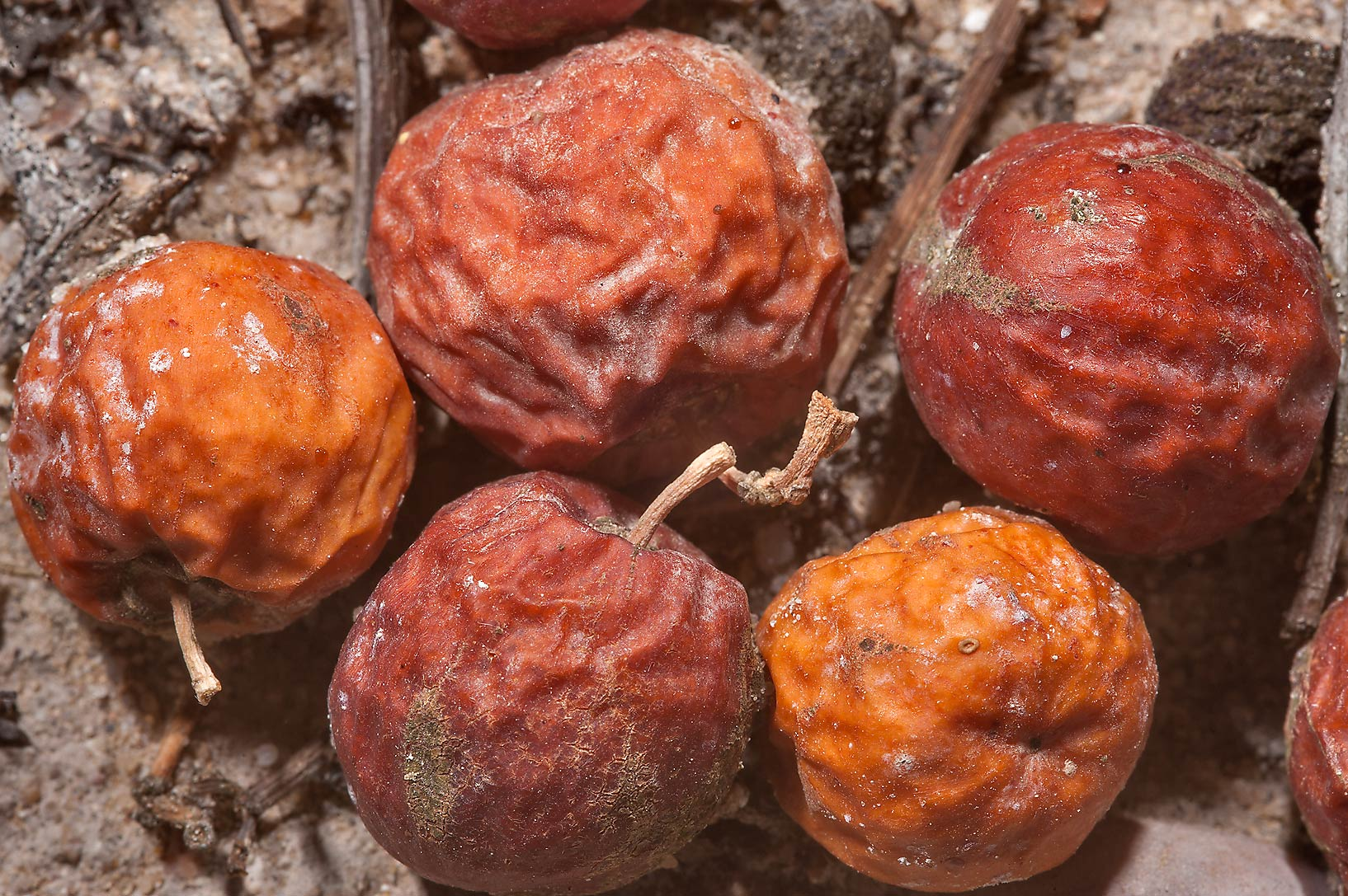 Fallen fruits (Kanar) of Christ's Thorn Jujube...in Irkhaya Farms. South-western Qatar