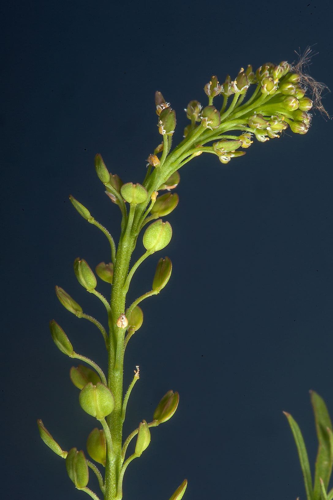 Argentine peppercress (Lepidium bonariense) on...in Irkhaya Farms. South-western Qatar