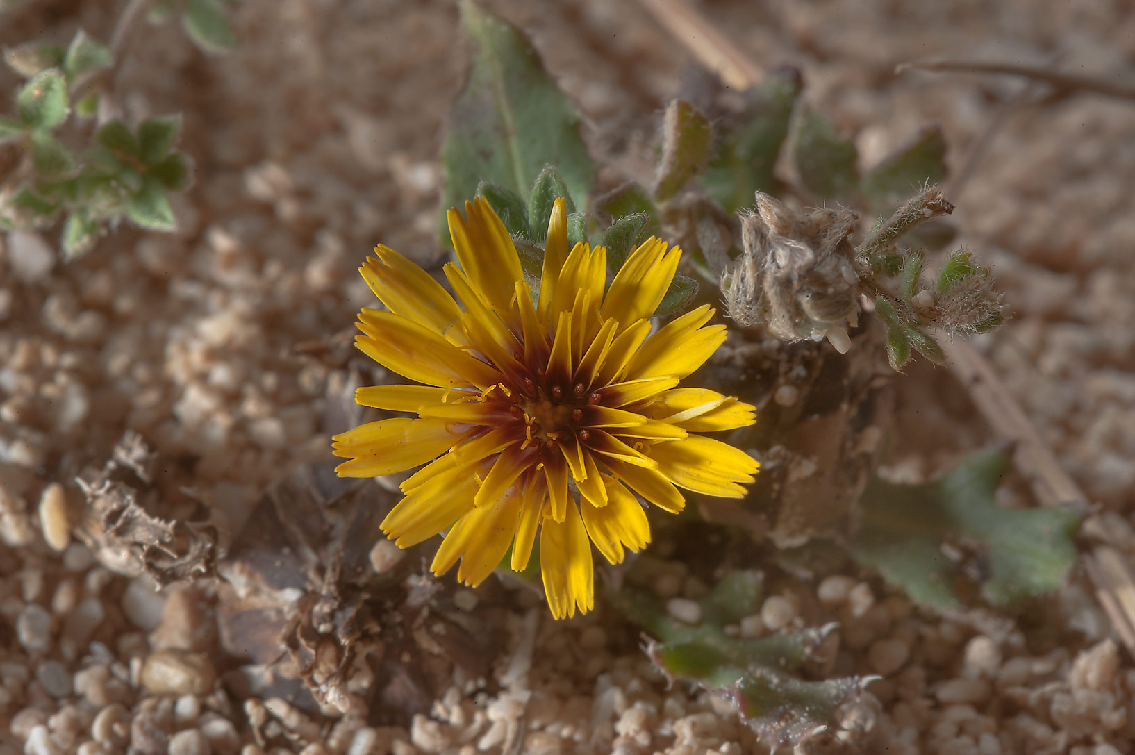False sowthistle (Reichardia tingitana, local...Hawdhan) near Fuwairit. Northern Qatar