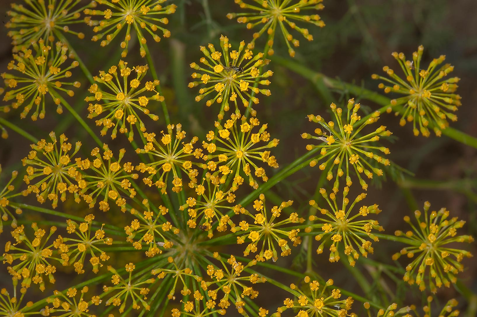 Dill (Anethum graveolens, local names ein jarada...of Al Shamal Rd.. Northern Qatar