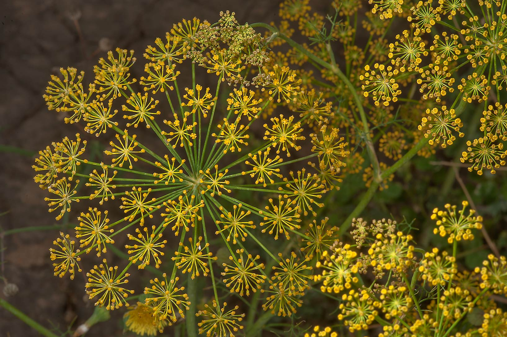 Seeds of dill (Anethum graveolens, local names...of Al Shamal Rd.. Northern Qatar