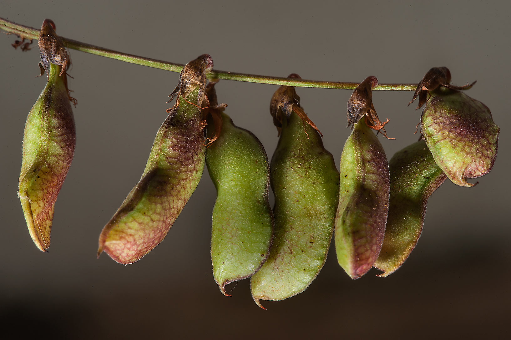 Seed pods of Least Snout-Bean (Rhynchosia minima...of Al Magdah farms. Northern Qatar