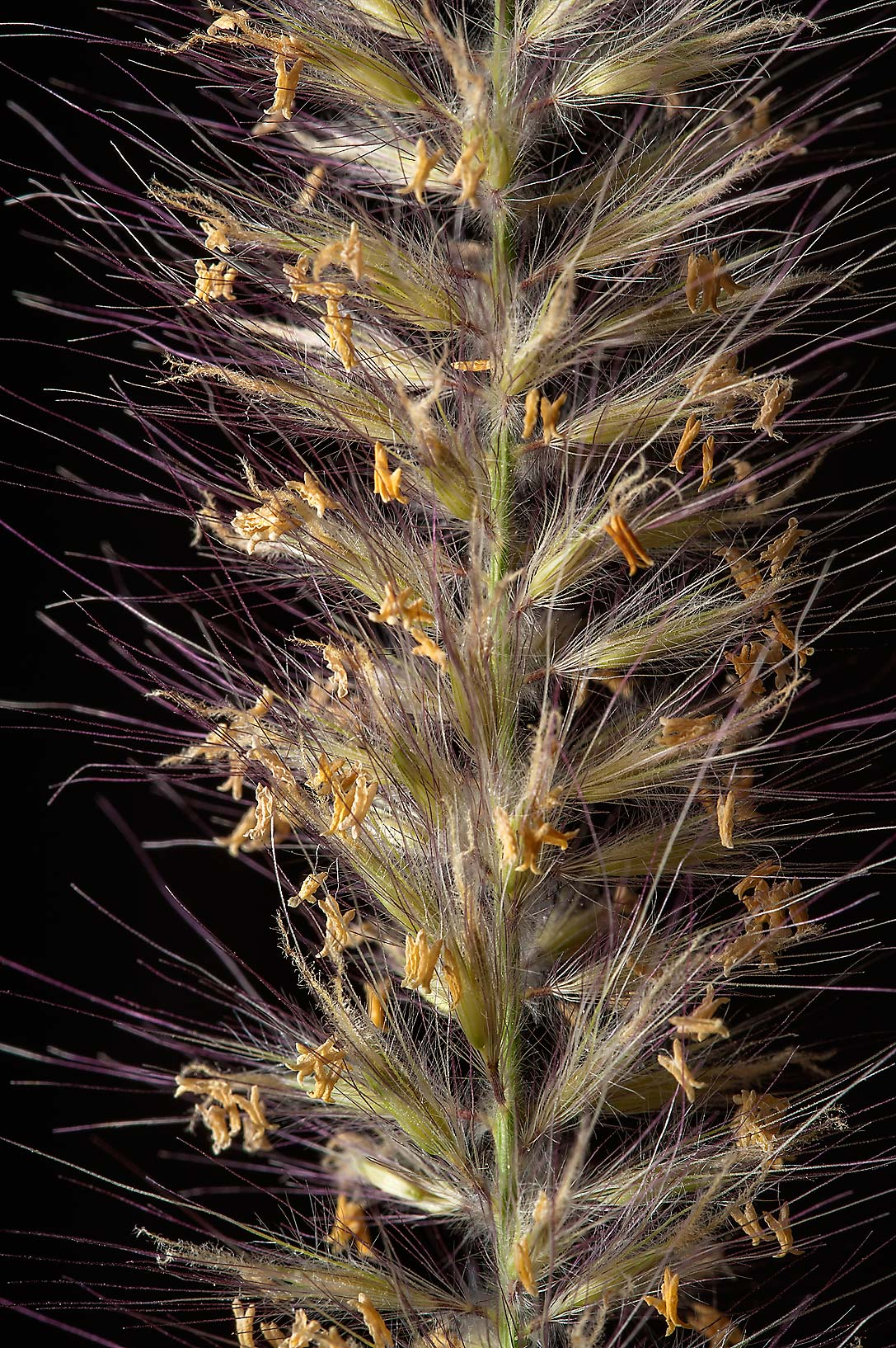 Close up of a soft spike of buffelgrass (African...St. in area of West Bay. Doha, Qatar