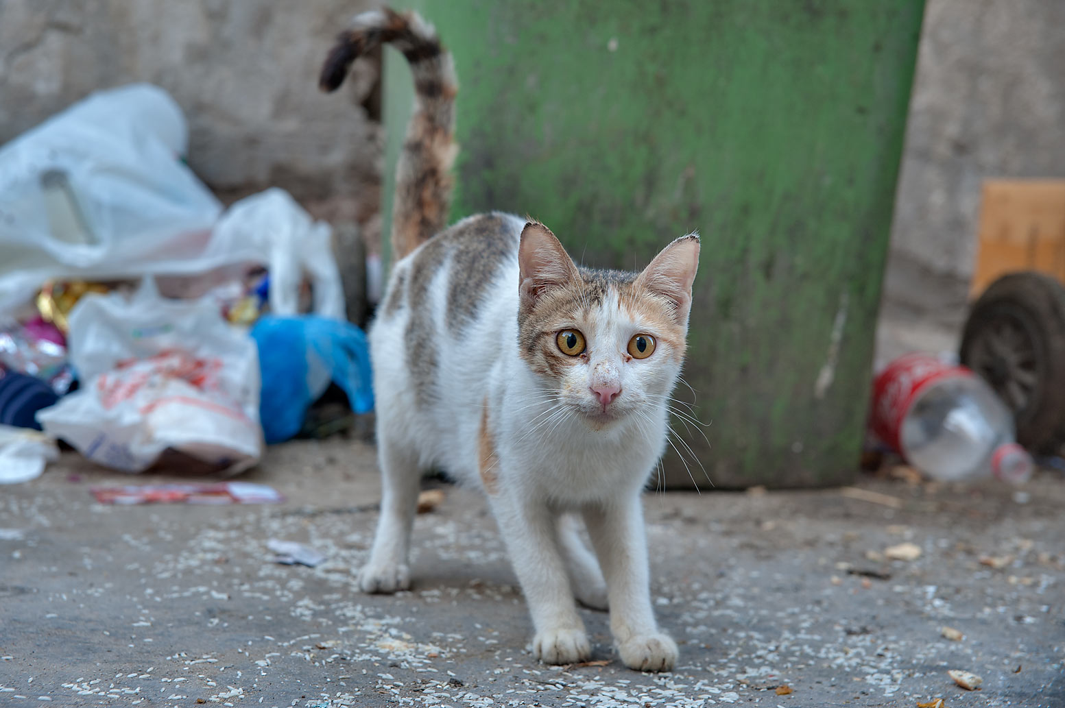 Stray cat on Al Khalidiya St. in Najma area. Doha, Qatar