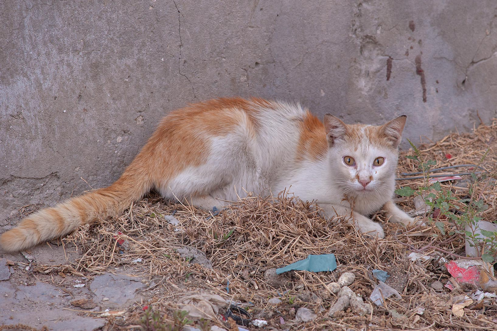 Sitting white and brown cat on Umm Wishad St. in Musheirib area. Doha, Qatar