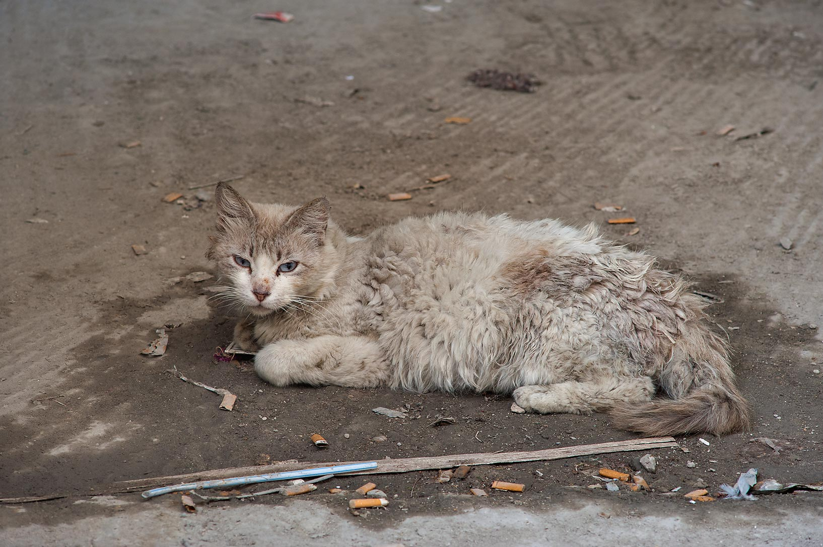 Sheep like cat near Al Maymoun St. in Musheirib area. Doha, Qatar