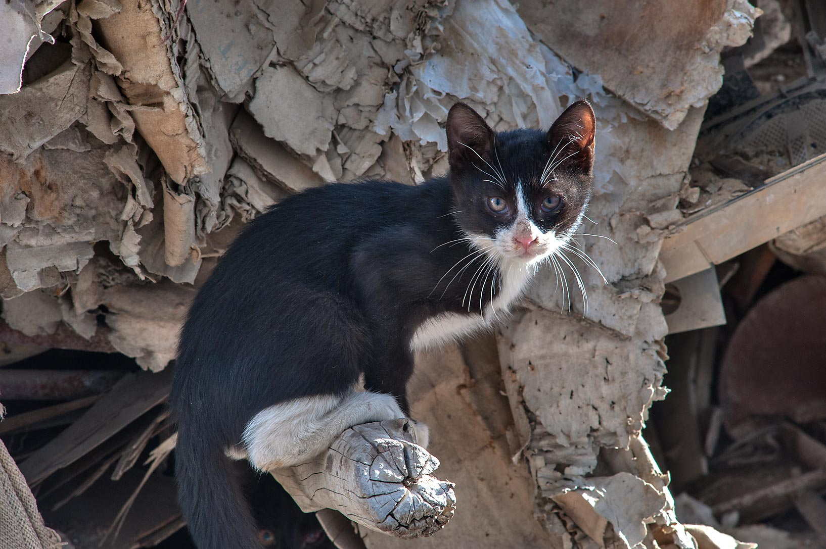 Tuxedo kitten on ruins near Al Najada St. in Musheirib area. Doha, Qatar