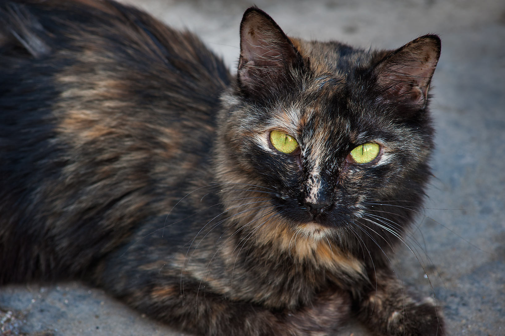 Tortoiseshell cat near Al Najada St. in Musheirib area. Doha, Qatar