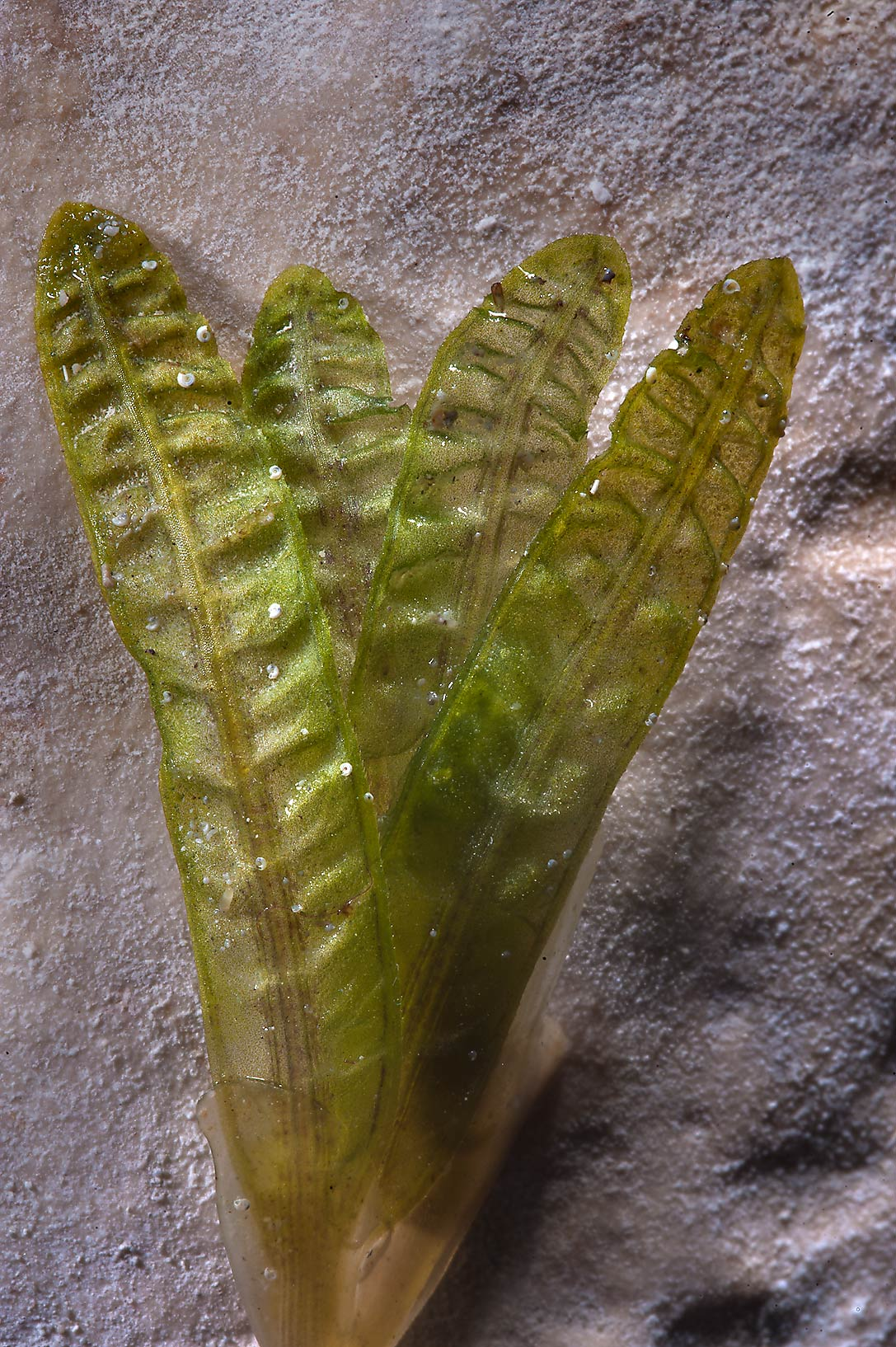 Bunch of leaves of seagrass (Halophila stipulacea...of Ras Al Noof near Al Khor. Qatar