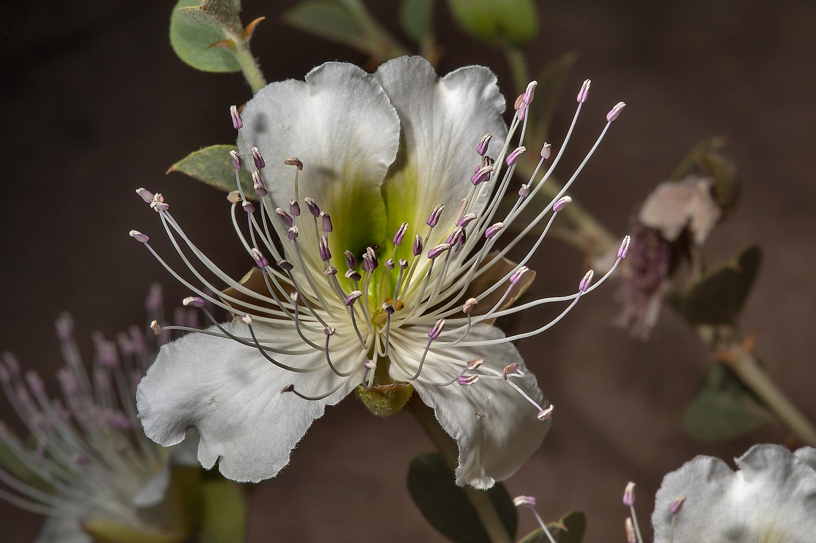 Large flower of Caper plant (Capparis spinosa) in...Water Well)d near Simaisma. Qatar