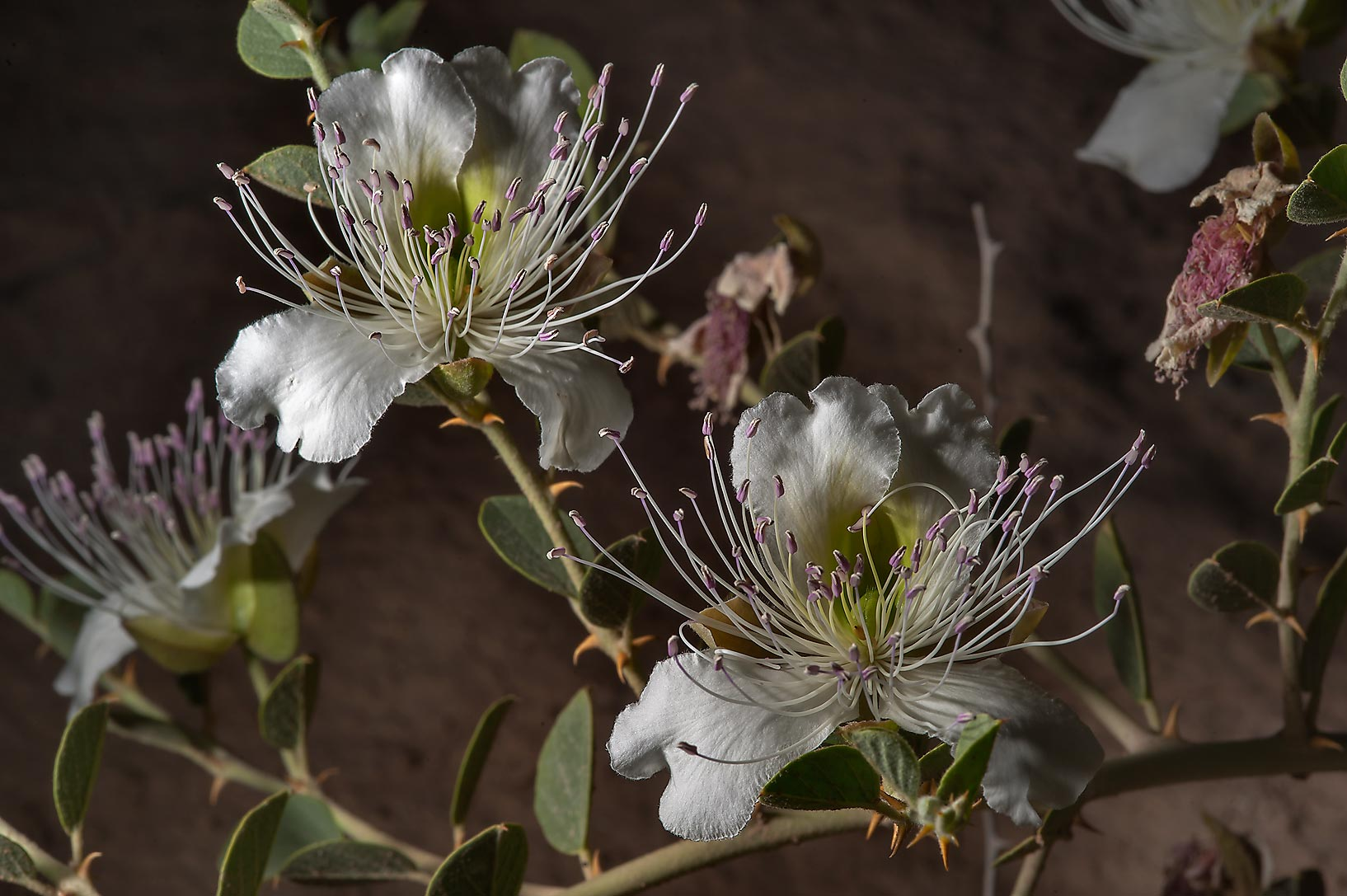 Caper plant (Capparis spinosa) in bloom in area...Water Well) near Simaisma. Qatar