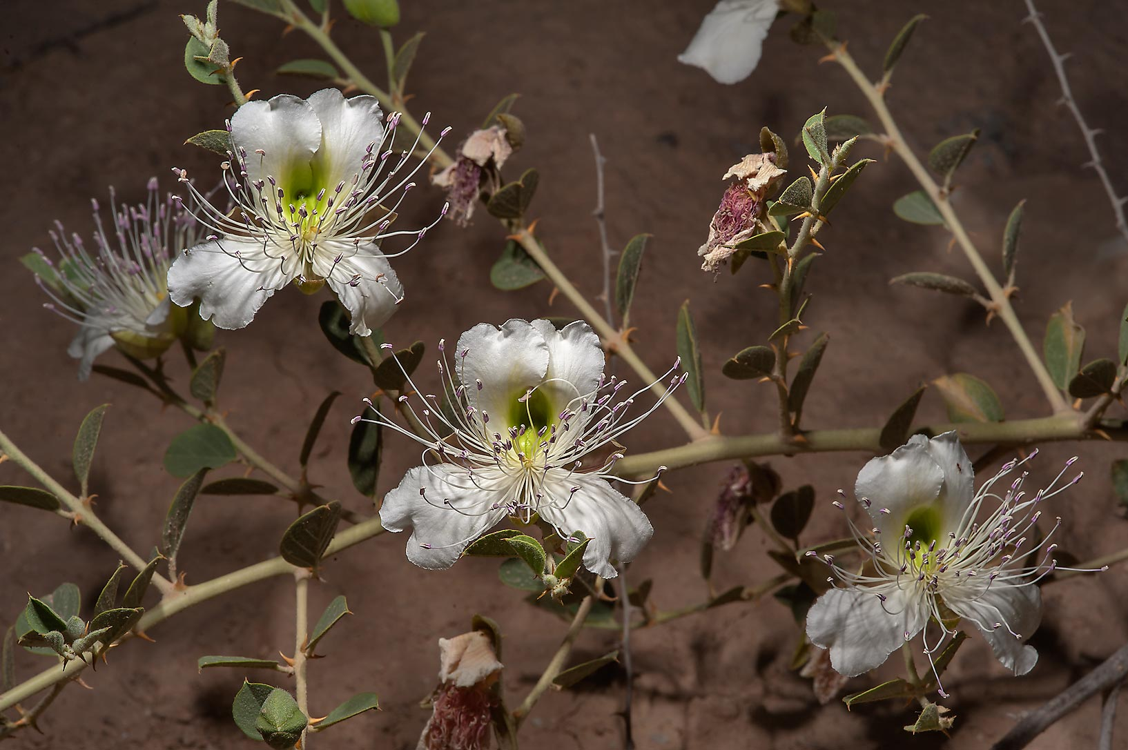 Blooming Caper plant (Capparis spinosa) in area...Water Well) near Simaisma. Qatar