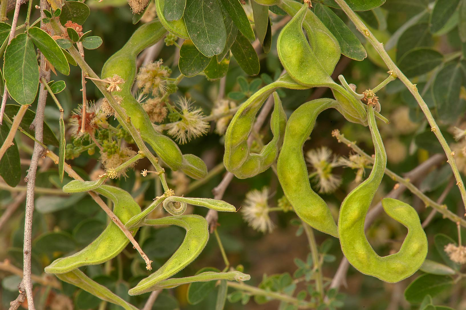 Seed pods of Madras thorn acacia (Pithecellobium...Istiqlal St. in West Bay. Doha, Qatar