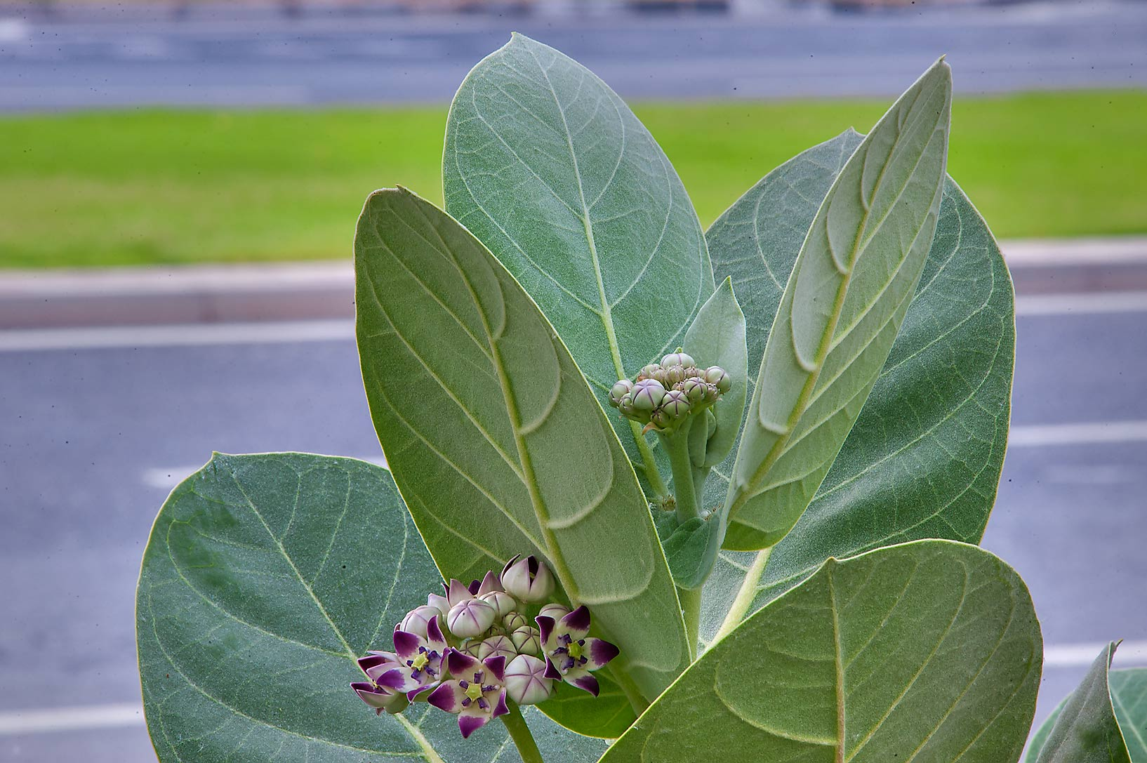 Sodom Apple (Calotropis procera) on roadside of Al Istiqlal St. in West Bay. Doha, Qatar