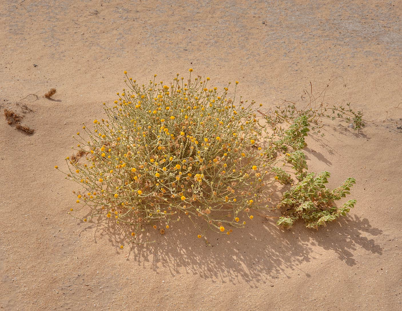 Blooming Pulicaria undulata on roadside of Salwa Rd., south-west from Doha. Qatar