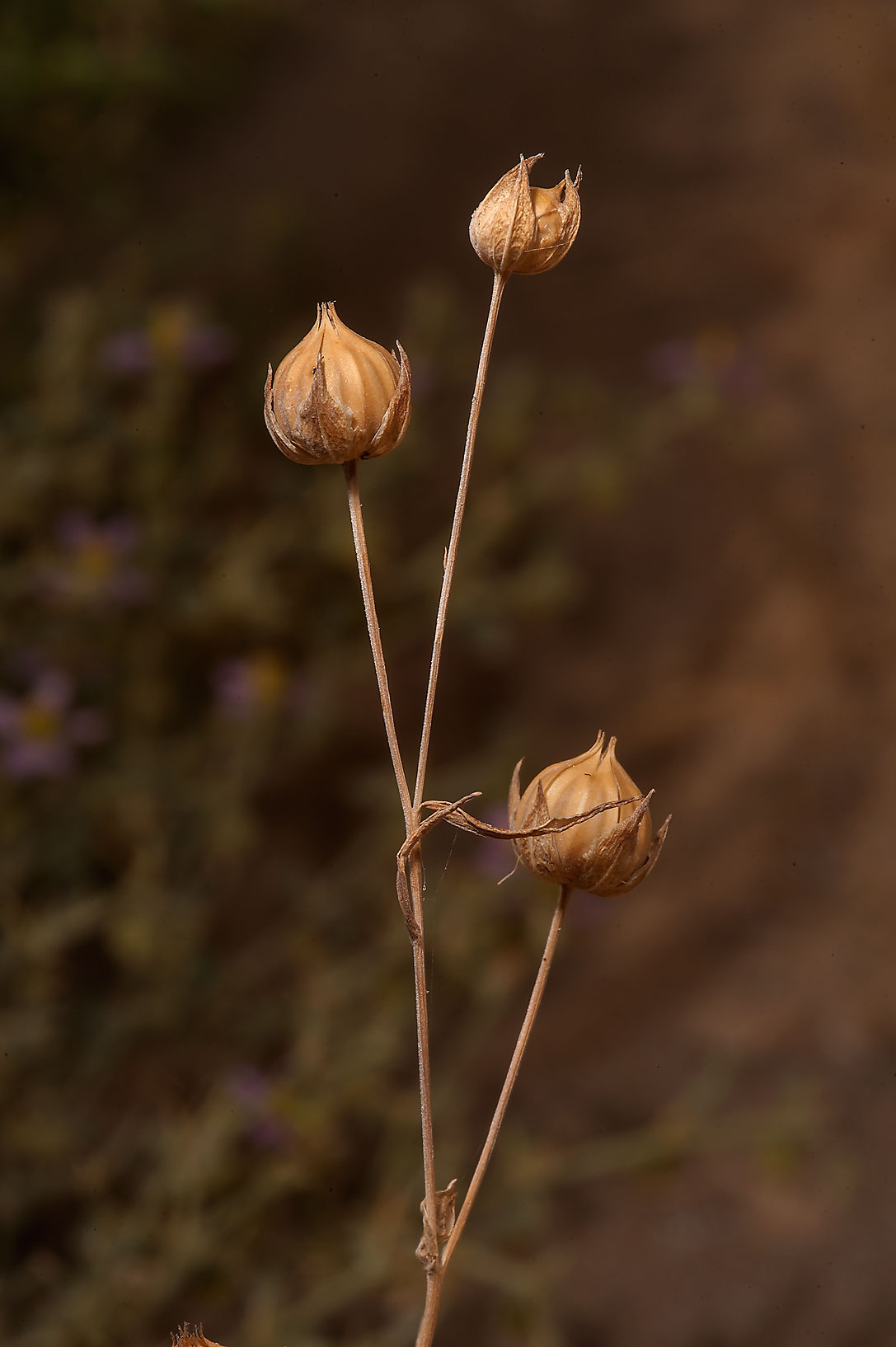 Spherical seed capsules of flax (Linum strictum...Salwa Rd., south-west from Doha. Qatar