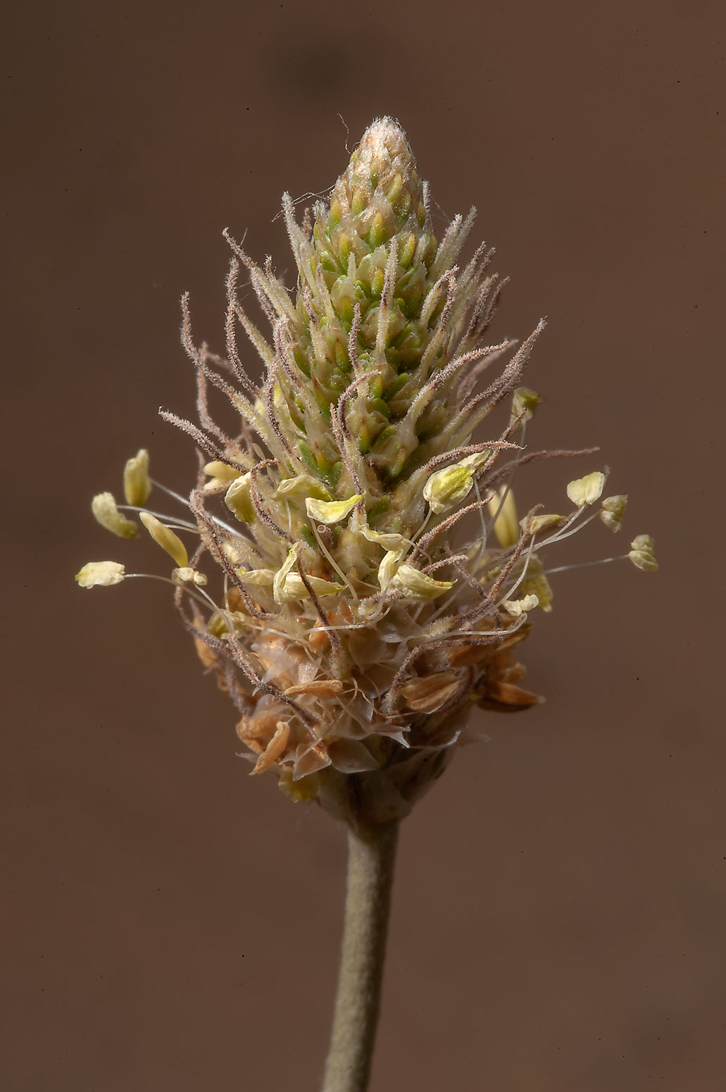 Flower spike of Ribwort Plantain (Plantago...Salwa Rd., south-west from Doha. Qatar