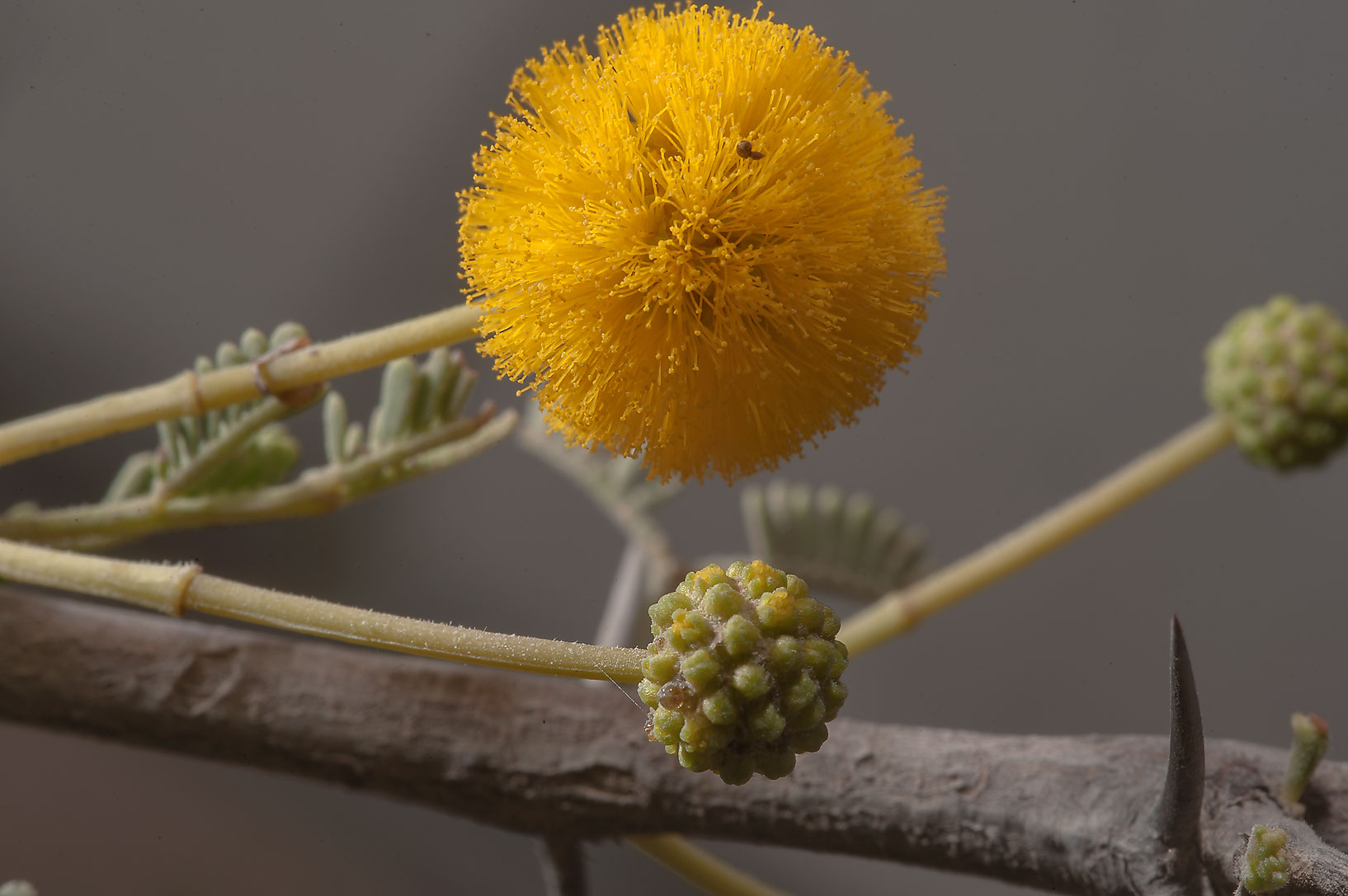 Yellow flowers of Acacia ehrenbergiana on...Karaana, south-west from Doha. Qatar