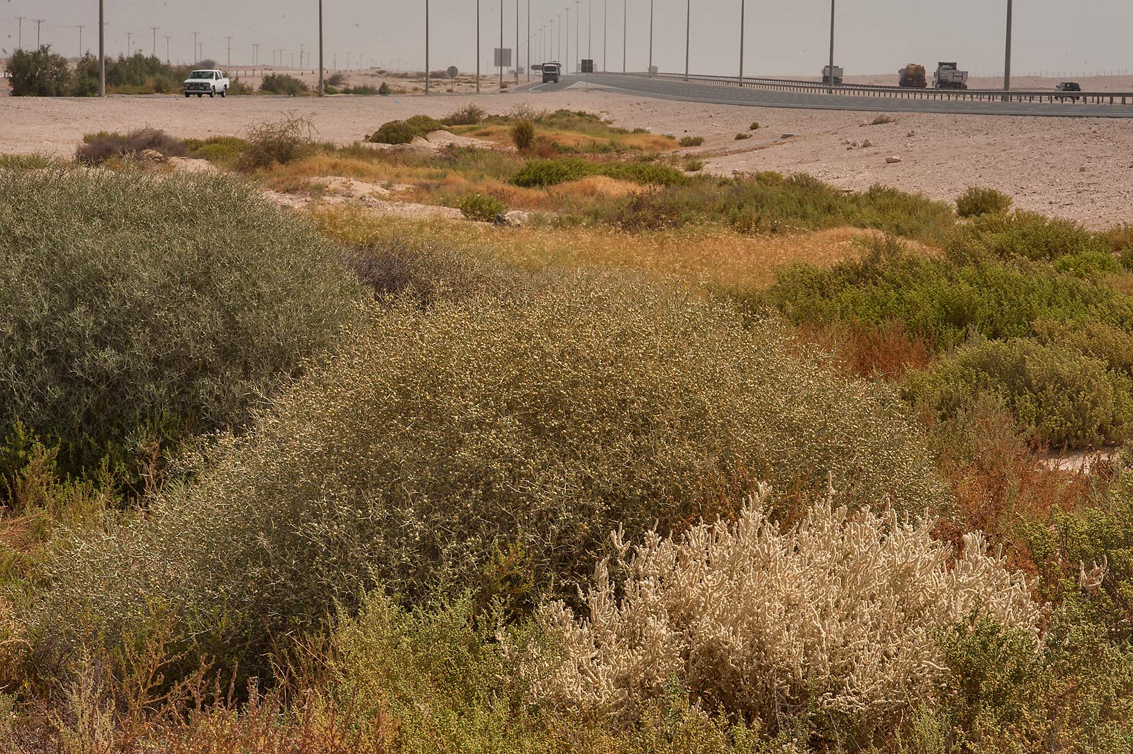 Vegetation in a depression on roadside of Salwa...Karaana, south-west from Doha. Qatar