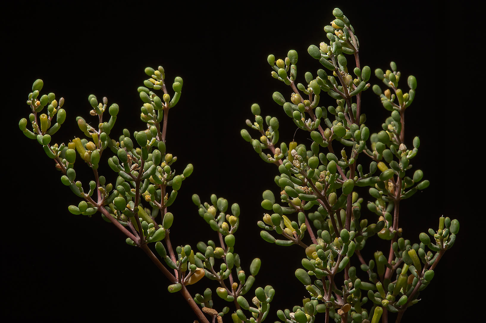 Tetraena qatarense (Zygophyllum qatarense, local...in West Bay at sunrise. Doha, Qatar
