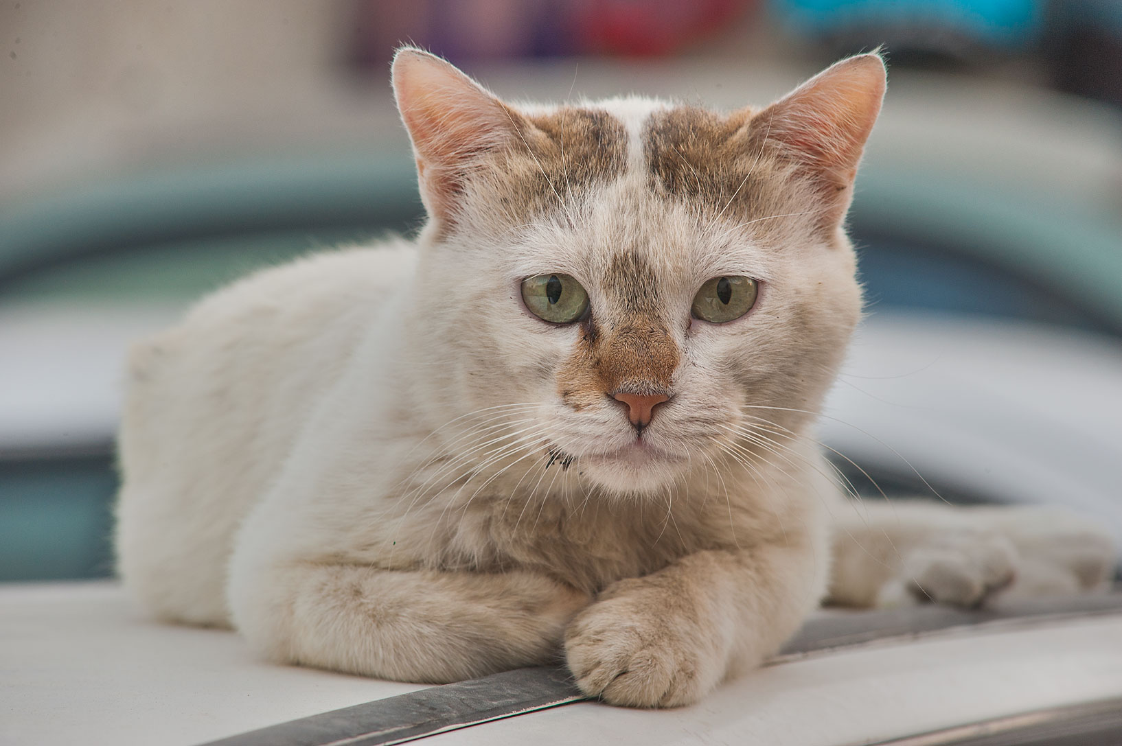 Whitish cat looking from a car on Umm Wishad St. in Musheirib area. Doha, Qatar