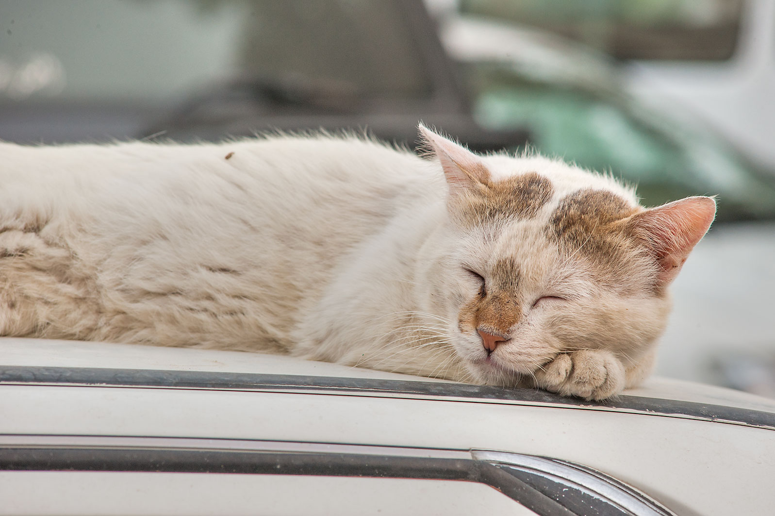 Whitish cat sleeping on a car at morning on Umm Wishad St. in Musheirib area. Doha, Qatar