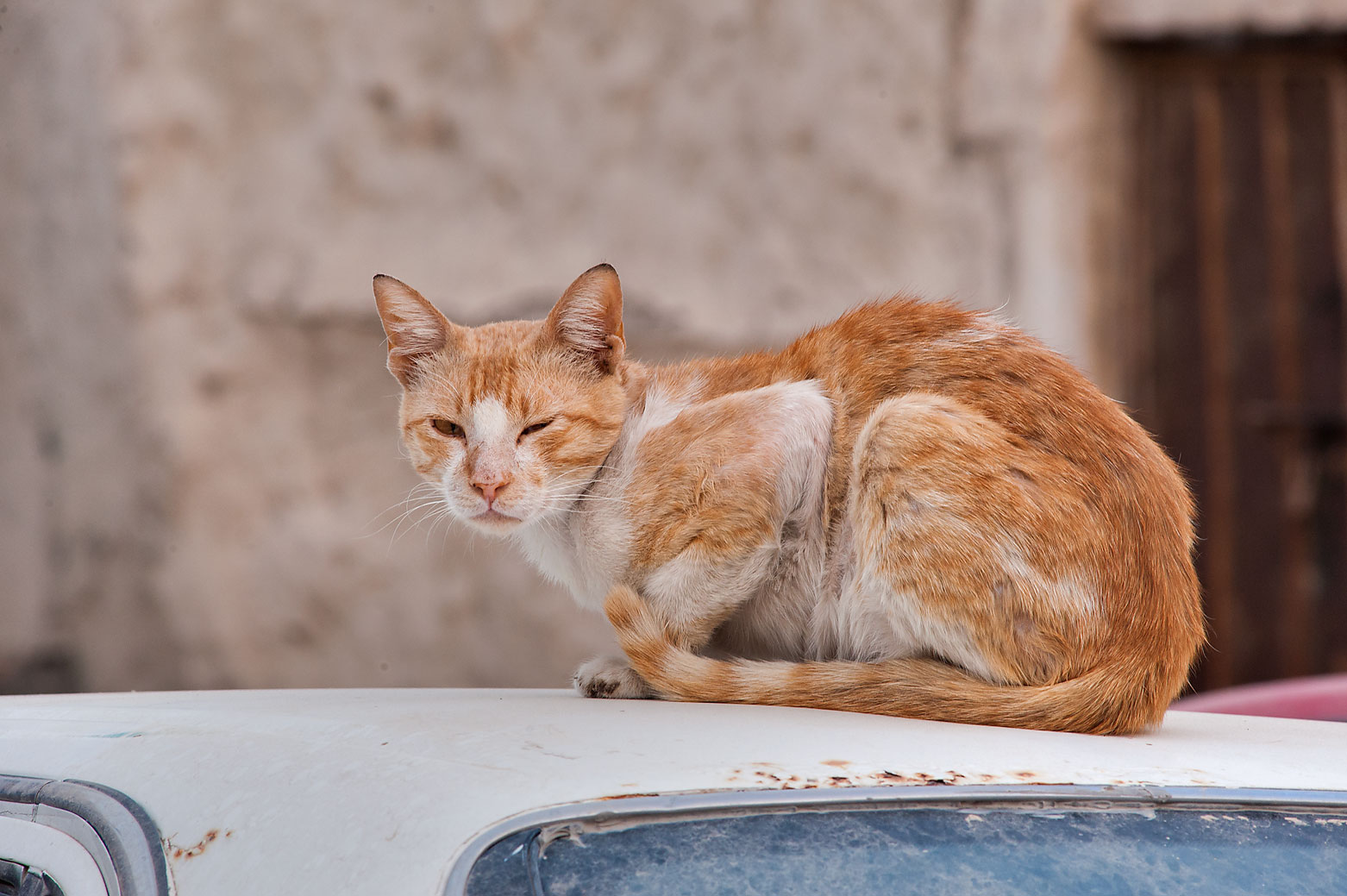 Brown cat sitting on a car on Umm Wishad St. in Musheirib area. Doha, Qatar