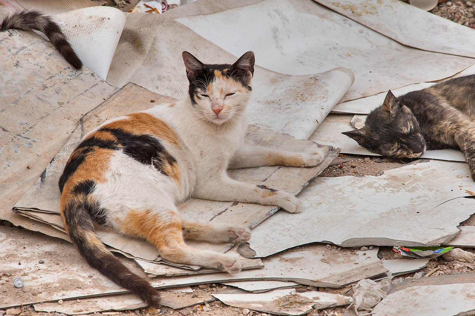 photo 140203 calico cat sleeping on sheets of plastic on
