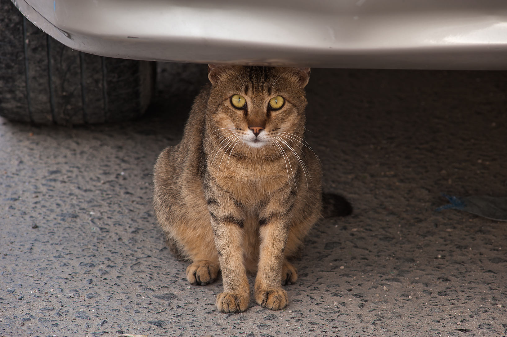 Tabby cat under a car on Umm Wishad St. in Musheirib area. Doha, Qatar